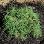 Mugo Pine